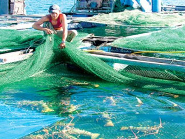 Khánh Hòa tìm giải pháp phát triển nghề nuôi tôm hùm bền vững