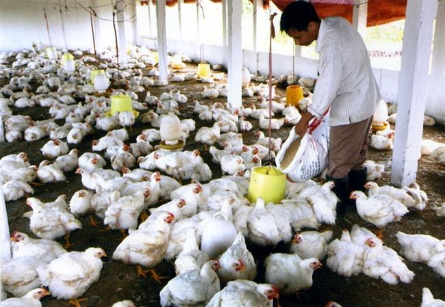 Tương lai gà trắng, gà màu: Trắng tay vì gà trắng!