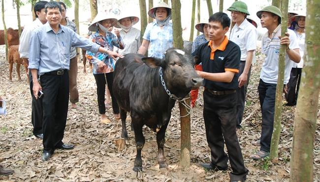 Doanh nghiệp độc quyền giống bò siêu thịt tại Hà Nội sắp IPO tại HNX