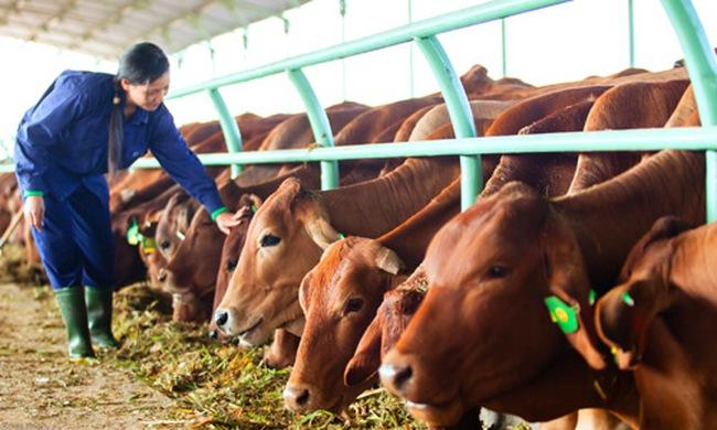Bộ trưởng Cao Đức Phát: Hoan nghênh HAG nhập bò Úc về nuôi
