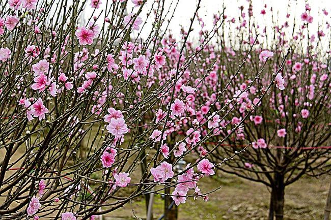 Nghệ An: Người trồng đào phai gần như trắng tay