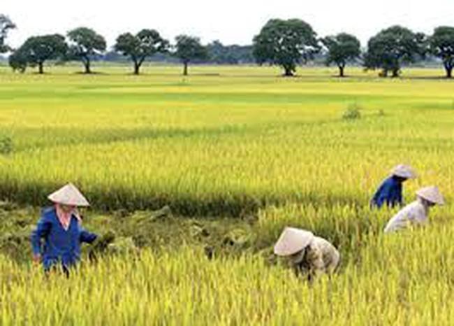 Chuyển mục đích sử dụng gần 250.000 m2 đất trồng lúa tại tỉnh Hưng Yên