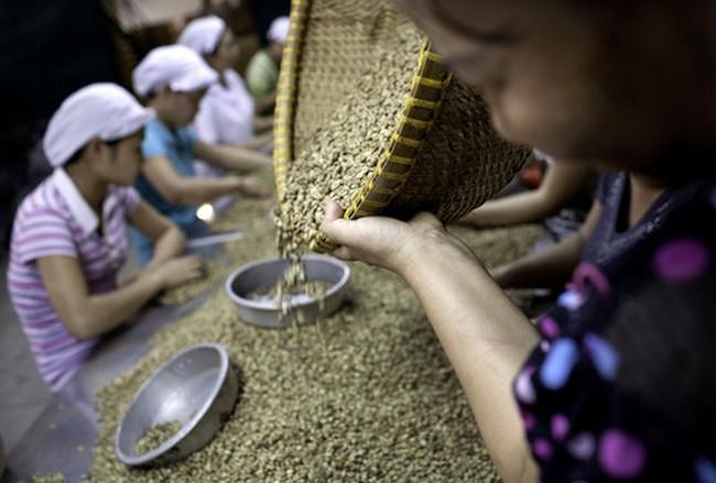Người trồng cà phê Việt Nam đang giữ lượng robusta nhiều nhất kể từ năm 2010