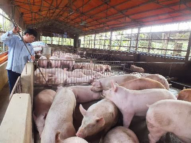 Đồng Nai: Giá lợn hơi giảm mạnh sau thông tin sử dụng chất cấm