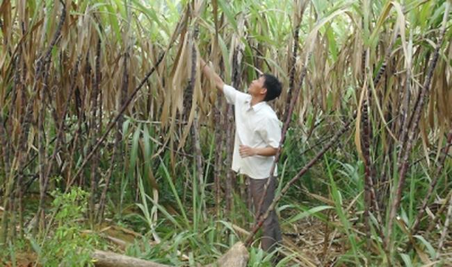 Mía tím rớt giá, nhiều hộ nông dân lao đao