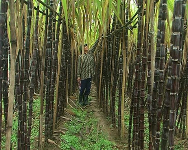 Thanh Hoá: Người trồng mía hoang mang vì đường không thuế