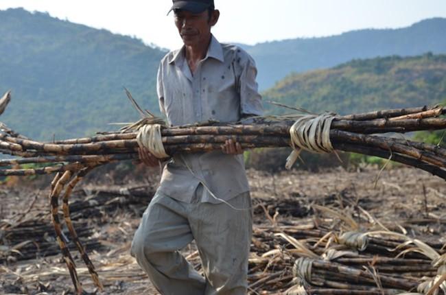 Thách thức bủa vây ngành mía đường Việt Nam