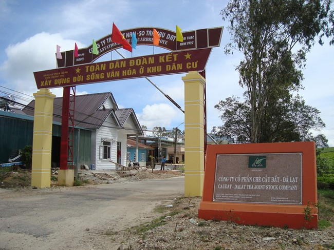 Nông dân Đà Lạt đang phải bán đổ, bán tháo chè ô long nguyên liệu
