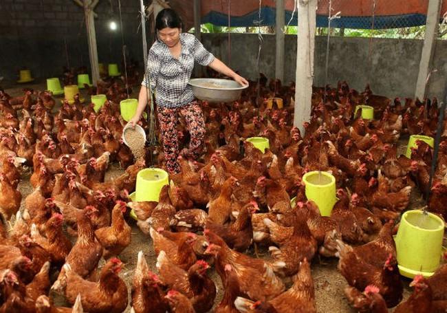 Người chăn nuôi lãi... 2.000 đồng/ con gà