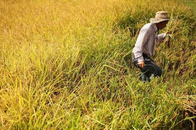 Indonesia muốn mua gạo của Việt Nam và Thái Lan