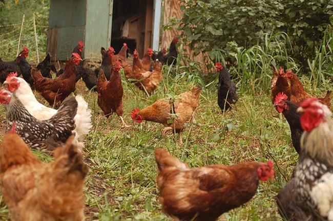 """Vào TPP, ngành chăn nuôi """"mong manh như ngọn đèn trước gió"""""""