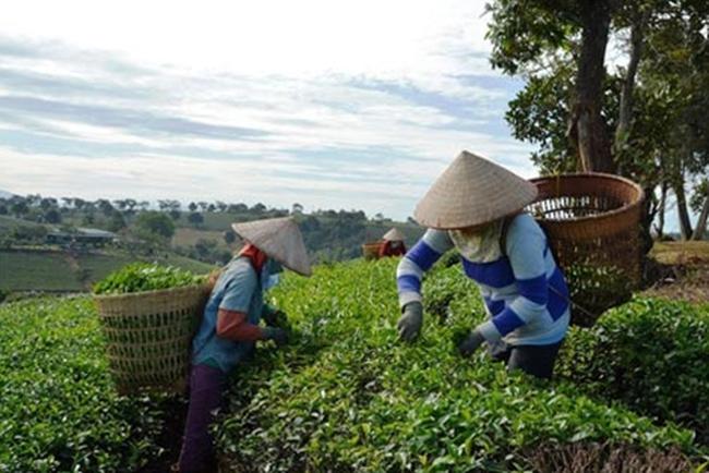 100% mẫu chè Lâm Đồng an toàn với hoạt chất fibronil