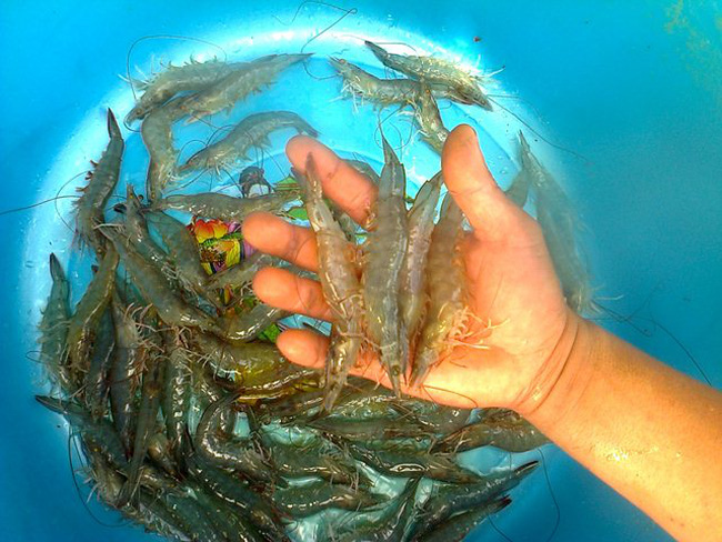 Người nuôi tôm và cá tra gặp khó