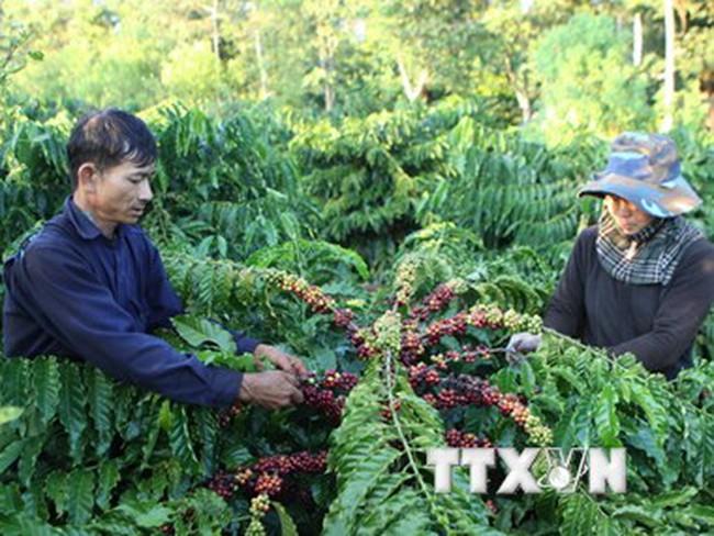 Nông dân xả hàng, xuất khẩu càphê của Việt Nam có thể tăng kỷ lục