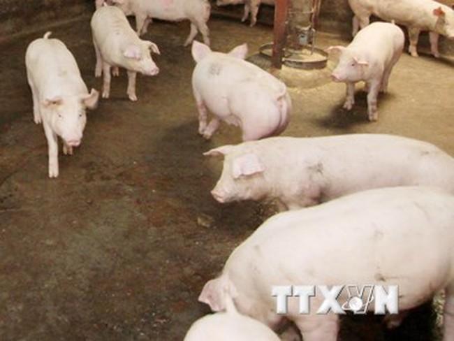 Tây Ninh phạt 5 cơ sở dùng chất tạo nạc trong chăn nuôi lợn