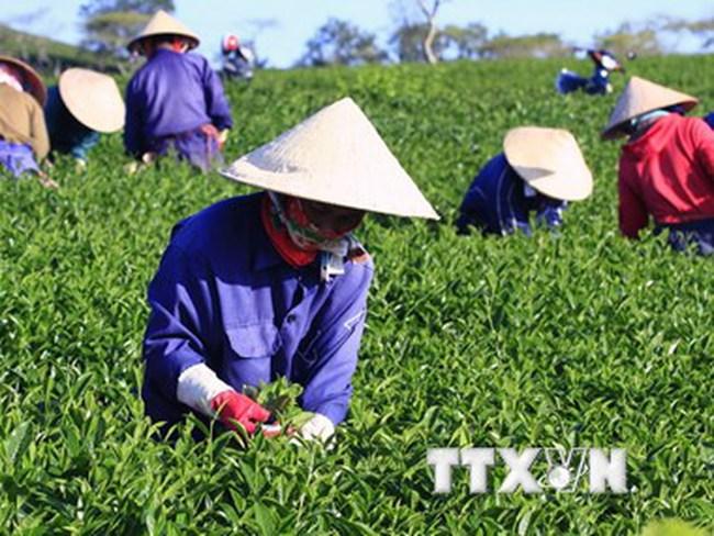 Không tìm ra thị trường xuất khẩu, ngành chè Lâm Đồng lao đao