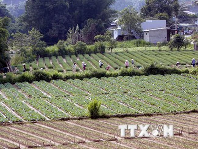 Mưa kéo dài khiến sản lượng rau Đà Lạt sụt giảm gần 1.000 tấn