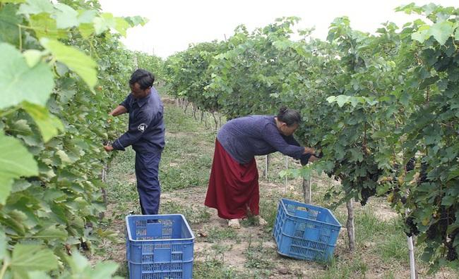 Chateau Dalat: Khát vọng Việt trong thế giới vang