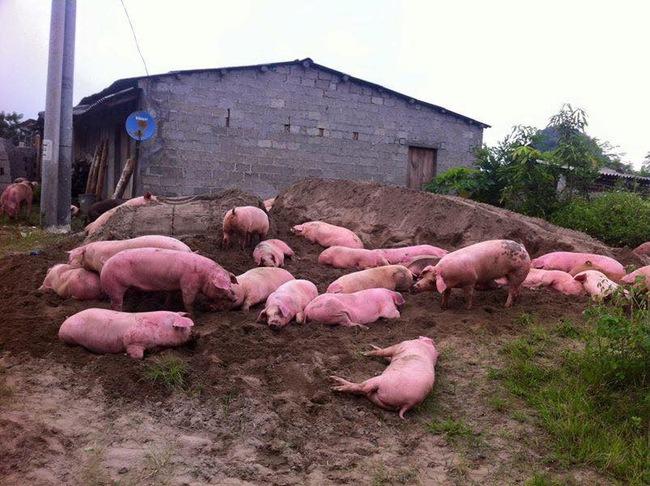 Lợn chết, thải loại tràn ngược về nội địa
