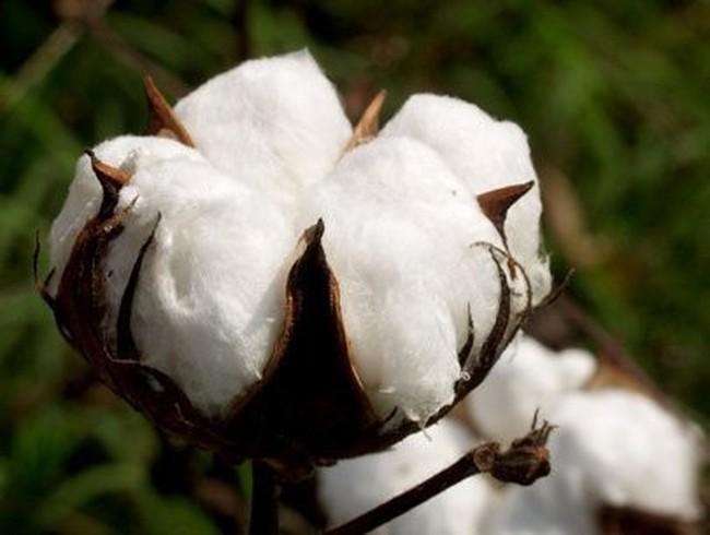 Khuyến cáo bông nhập khẩu từ châu Phi nhiễm dịch