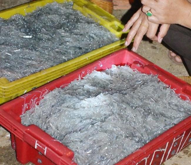 Ngư dân trúng đậm cá cơm mồm tinh kiếm chục triệu ngày