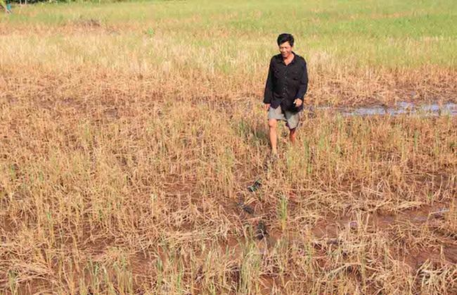 Gần 139 nghìn ha lúa bị ảnh hưởng bởi xâm nhập mặn