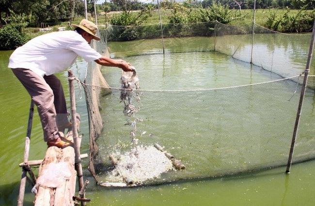Người nuôi cá lóc thua lỗ hàng trăm triệu đồng do hạn mặn