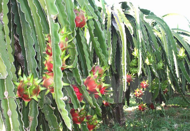 Trái cây Việt chinh phục các thị trường khó tính trong năm 2015