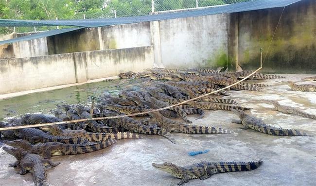 Trung Quốc giảm mua, giá cá sấu rớt chưa từng thấy