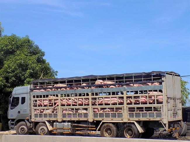 Giá heo tại Phú Yên bất ngờ tăng, người nuôi lãi 600.000 - 800.000đ/con