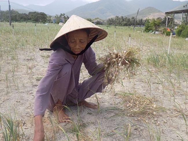 Người trồng tỏi ở Khánh Hòa khốn đốn