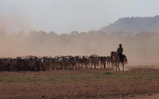 Nghề mang bò Úc về Việt Nam vỗ béo không còn hấp dẫn