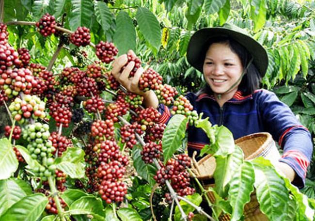 Đức tiêu thụ mạnh cà phê Việt