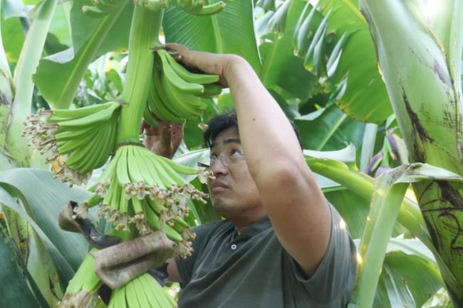 Lão nông chịu chơi, thuê chuyên gia nước ngoài cùng trồng chuối