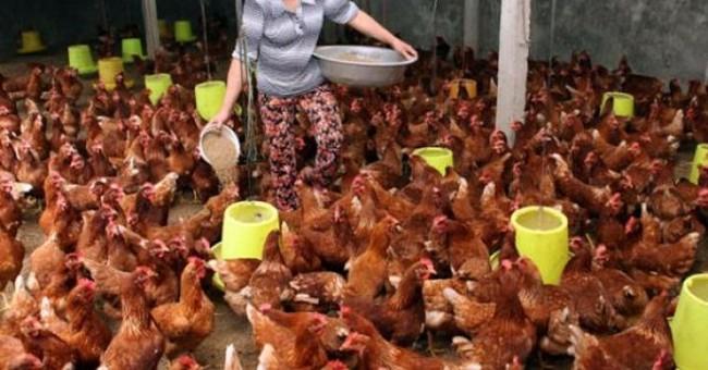 """""""Sợ"""" gà Trung Quốc, gà nội giảm giá sâu"""