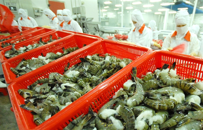 Thị trường tôm Việt Nam đang bị đe dọa từ việc thu mua không cần chất lượng!