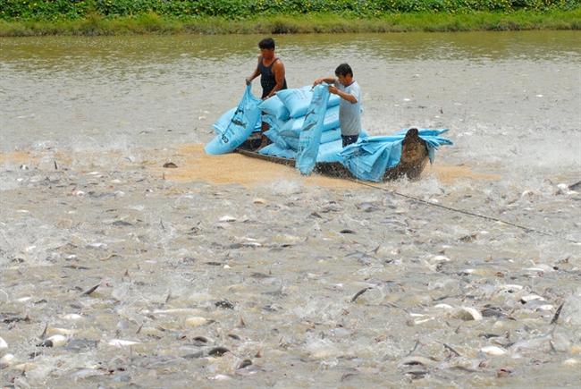Cá tra tăng giá, người nuôi chưa vội mừng