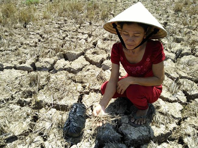 Bến Tre: Sản lượng lúa giảm trên 41%