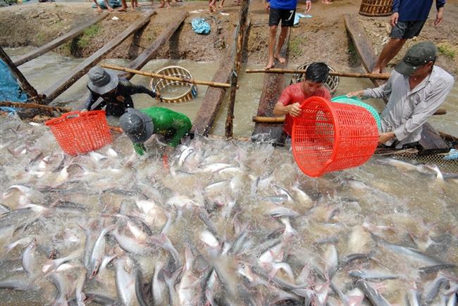 Giá cá tra rớt thê thảm, người nuôi thua lỗ nặng