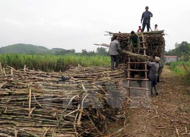 Các nhà máy đường trước nguy cơ thiếu nguyên liệu