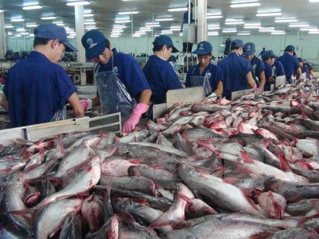 Nguồn cung cá tra nguyên liệu dồi dào
