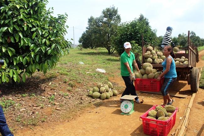 Trồng sầu riêng thu tiền tỷ, cơn sốt lan nhanh ở Đắk Nông