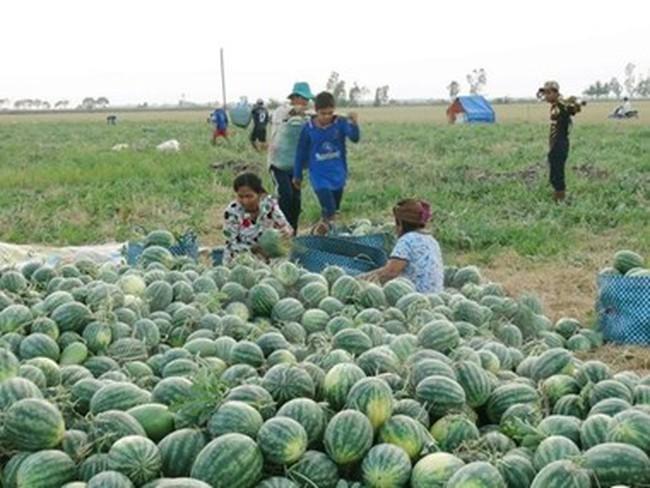 Ninh Thuận: Giá dưa hấu tăng trở lại, người trồng phấn khởi