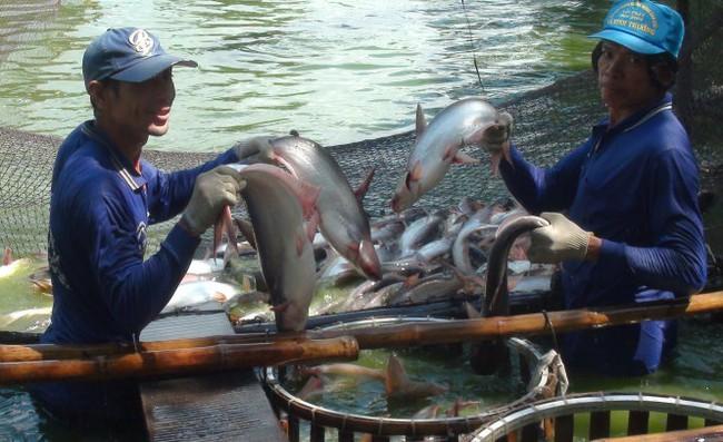 Trung Quốc giảm mua, người nuôi cá tra điêu đứng