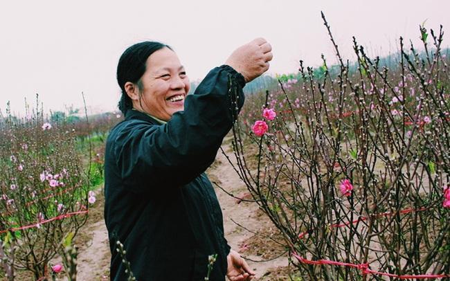 Thời tiết nóng lạnh thất thường, người trồng đào Nhật Tân kẻ khóc người cười