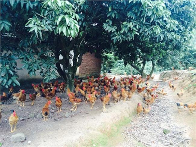 Mốt đặc sản gà ri ăn tết: Cháy hàng, lãi lớn