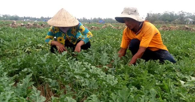Hiệu quả từ trồng dưa hấu tránh hạn mặn đạt hiệu quả kinh tế cao