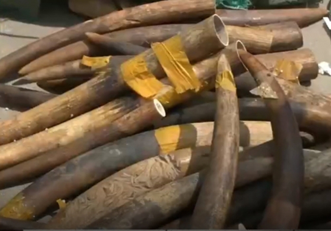 Phát hiện hơn 300kg ngà voi từ nước ngoài về sân bay Nội Bài