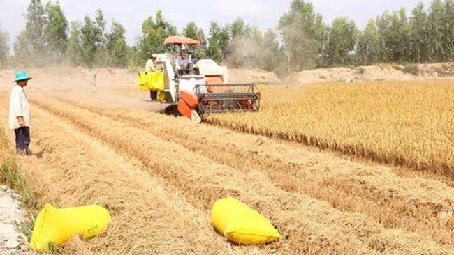 Đặt cọc nửa tháng mới mua được lúa