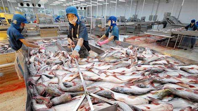 Xuất khẩu cá tra tăng, nhưng giá bèo bọt